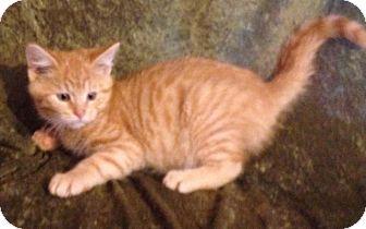 Domestic Shorthair Kitten for adoption in Hillside, Illinois - Mason