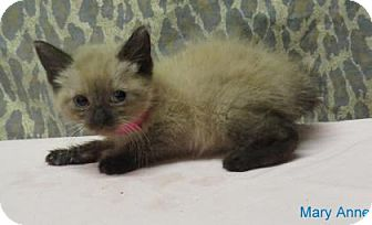 Ragdoll Kitten for adoption in Georgetown, South Carolina - Mary Anne