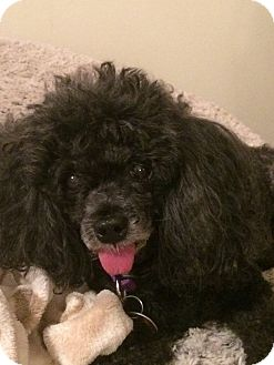 Poodle (Toy or Tea Cup) Mix Dog for adoption in Richmond, Virginia - Harley