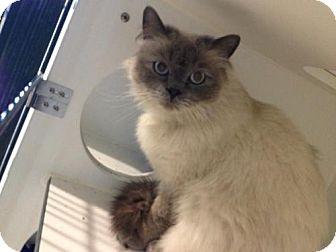 Himalayan Cat for adoption in Hamilton, Ontario - Holton
