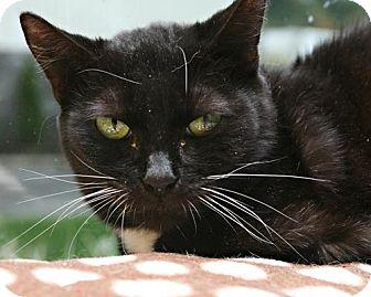 Domestic Shorthair Cat for adoption in Bellingham, Washington - Judith