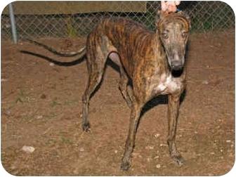Greyhound Dog for adoption in Albuquerque, New Mexico - Jocelyn