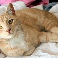 Domestic Shorthair Cat for adoption in New York, New York - Boots