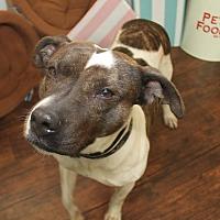 American Staffordshire Terrier Mix Dog for adoption in Detroit, Michigan - Glenda