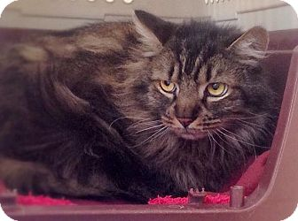 Domestic Longhair Cat for adoption in North Haven, Connecticut - Derek