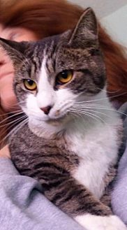 Domestic Shorthair Cat for adoption in Port Clinton, Ohio - Rome
