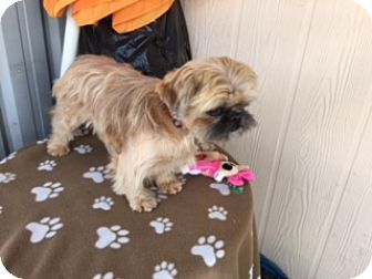 Shih Tzu/Terrier (Unknown Type, Small) Mix Dog for adoption in Elk Grove, California - POZI
