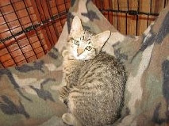 Domestic Shorthair Kitten for adoption in Delmont, Pennsylvania - Softie