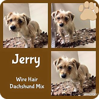 Wirehaired Fox Terrier/Dachshund Mix Dog for adoption in Snyder, Texas - Jerry