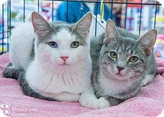 Domestic Shorthair Kitten for adoption in Merrifield, Virginia - Blondie