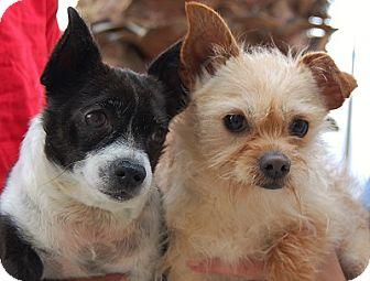 Chihuahua Mix Dog for adoption in Las Vegas, Nevada - Marlboro