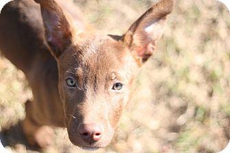 Vizsla/Corgi Mix Puppy for adoption in Nashville, Tennessee - Remy