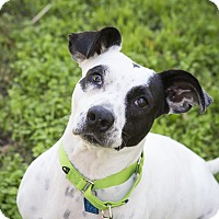 Adopt A Pet :: Paulina - Houston, TX