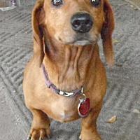 Dachshund Dog for adoption in Wallis, Texas - Darby