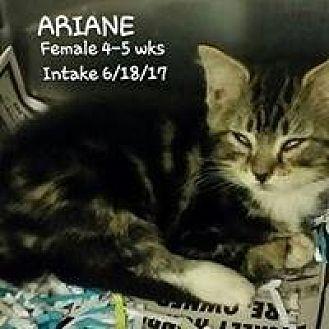 Domestic Shorthair Kitten for adoption in Fayetteville, West Virginia - Ariane