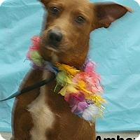 Adopt A Pet :: 436647 Amber - San Antonio, TX