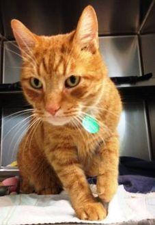 Domestic Shorthair/Domestic Shorthair Mix Cat for adoption in South Burlington, Vermont - Wilson