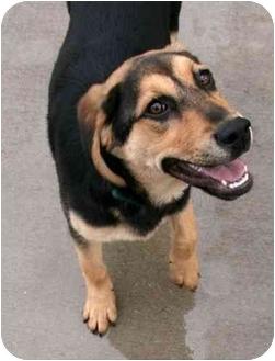 Shepherd (Unknown Type)/Hound (Unknown Type) Mix Puppy for adoption in Phoenix, Oregon - River