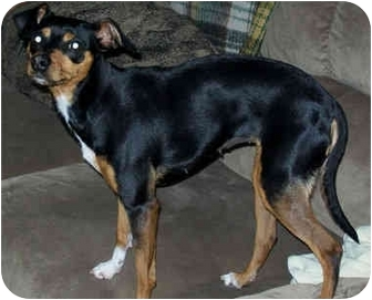 Miniature Pinscher/Terrier (Unknown Type, Small) Mix Dog for adoption in Marseilles, Illinois - IttyBittyBetty