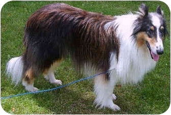 Collie Dog for adoption in Minneapolis, Minnesota - Griffin
