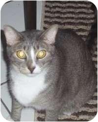 Domestic Shorthair Cat for adoption in Fort Lauderdale, Florida - Whisper