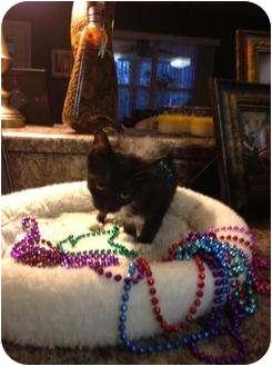 Domestic Shorthair Kitten for adoption in Mobile, Alabama - Jill