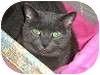 Russian Blue Cat for adoption in Ocean City, New Jersey - Liz