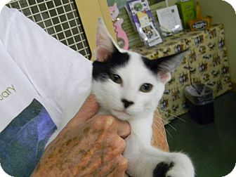 Turkish Van Kitten for adoption in Naples, Florida - Franklin