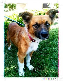 Sheltie, Shetland Sheepdog/Pomeranian Mix Dog for adoption in El Cajon, California - CHARLY