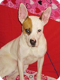 Boxer/Terrier (Unknown Type, Medium) Mix Dog for adoption in LaGrange, Kentucky - FARRAH