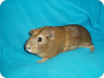 Guinea Pig for adoption in Fullerton, California - Ashley