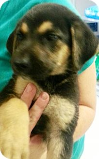 German Shepherd Dog Mix Puppy for adoption in Oswego, Illinois - Chicago Favs Ltr Blackhawk