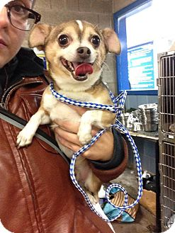 Chihuahua Mix Dog for adoption in Chicago, Illinois - Pork Chop