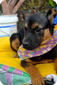 German Shepherd Dog Mix Puppy for adoption in San Diego, California - Dalila