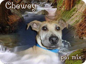 Shar Pei Mix Puppy for adoption in Desert Hot Springs, California - Chewey