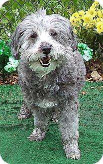 Cockapoo Mix Dog for adoption in Marietta, Georgia - PATTY (R)
