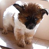 Adopt A Pet :: Jacob - dewey, AZ