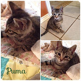 Domestic Shorthair Kitten for adoption in Arlington/Ft Worth, Texas - Puma