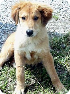 Golden Retriever Mix Puppy for adoption in Salem, New Hampshire - PUPPY LULU
