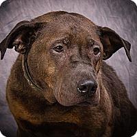 Shar Pei Mix Dog for adoption in Anna, Illinois - WRINKLES