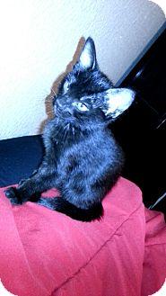 Domestic Shorthair Kitten for adoption in Scottsdale, Arizona - GiGi-PetsMart Kitten