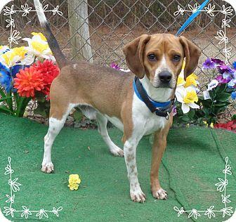 Beagle Dog for adoption in Marietta, Georgia - CHOO-CHOO- See Video!
