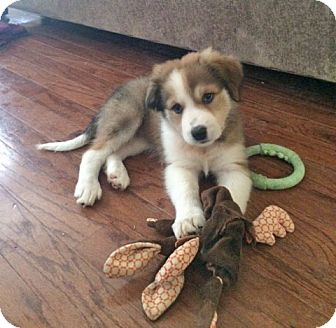 Australian Shepherd/Great Pyrenees Mix Puppy for adoption in Plano, Texas - SCARLETT - LOVES TO CUDDLE