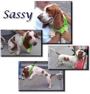 Basset Hound Dog for adoption in Marietta, Georgia - Sassy