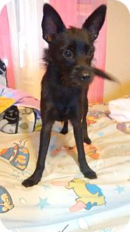 Terrier (Unknown Type, Small) Mix Puppy for adoption in Houston, Texas - Lexi