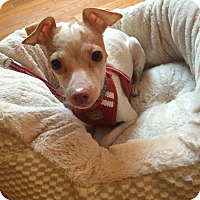 Adopt A Pet :: Lydia - Chicago, IL