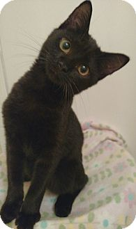 Domestic Shorthair Kitten for adoption in Richmond, Virginia - Auggie (adoption pending)