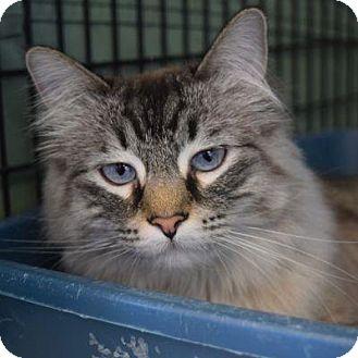 Siamese Cat for adoption in Denver, Colorado - Ahri