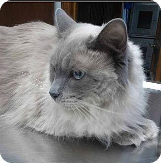 Ragdoll Cat for adoption in Northfield, Ohio - Mystique