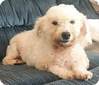Bichon Frise Dog for adoption in Fairview Heights, Illinois - Cindy Lou